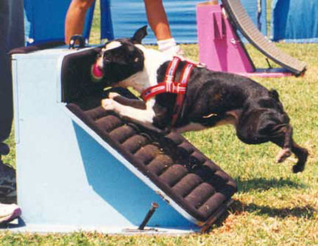 Boston Agility Dog Training